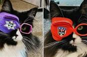 小貓咪戴眼鏡能有多帥?網友:這不是黑貓「鏡」長嘛!