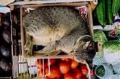 貓:買瓜嗎?不包甜的那種...