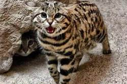 黑足貓,一種長得很可愛的「小殺手」…